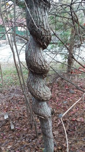 Tree Day No People Growth Outdoors Branch Nature Strength Tree Trunk Beauty In Nature Close-up Perspectives On Nature Twisted Tree Trunk