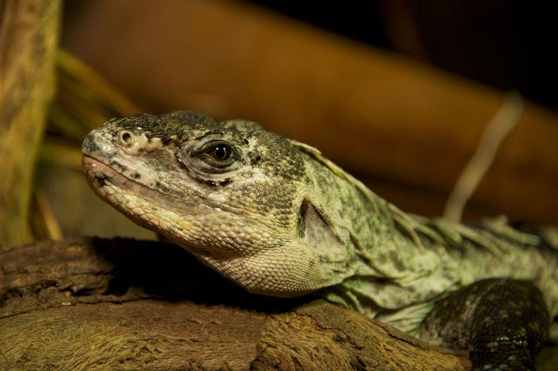 Close-up of iguana on rock