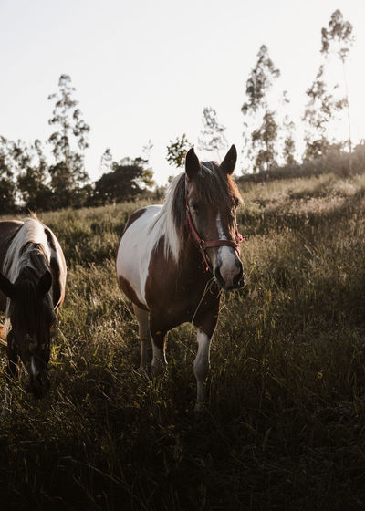 Horses standing in field against sky