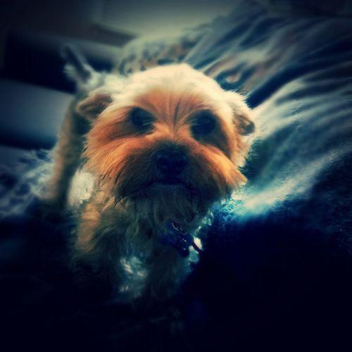 Puppy YorkieBestShots Yorkshire Terrier Cute Adorable KAWAII Cute Lovable Dirty Dog Cuddlebuddy Hello ❤ Mrs Puppy Ponyo Little Fish Puppy Love Doggie Love Cute!