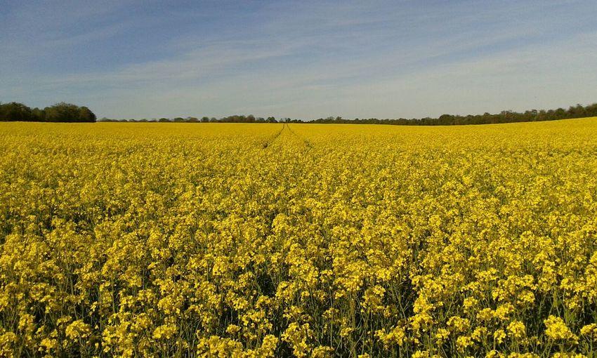 View of oilseed rape field