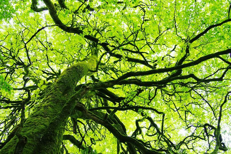 Beech Tree Beech Beech Leaves Broadleaf Tree Branches Foliage Trees Green Foliage Green Ireland Nature Beech Wood