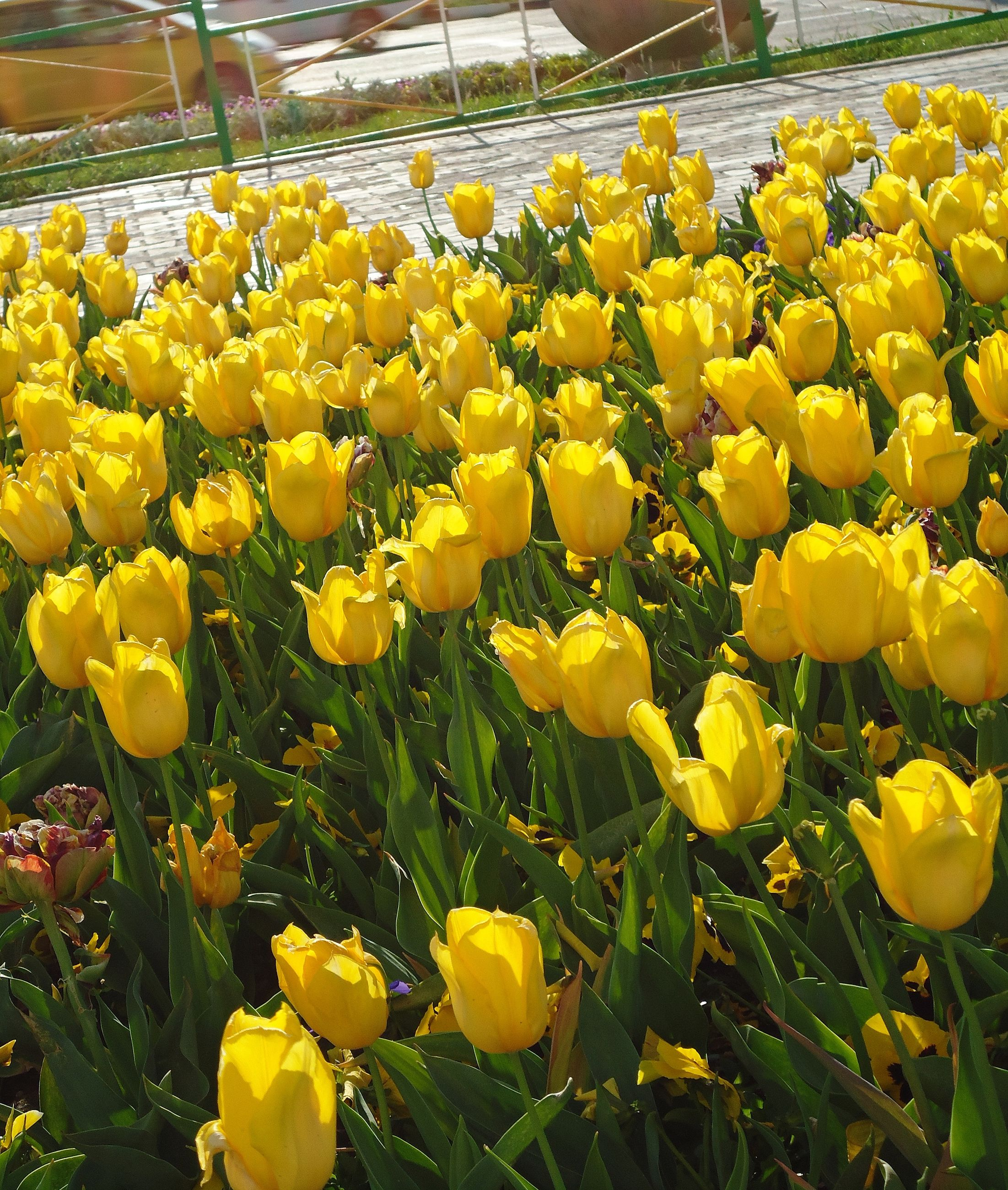 Yellow tulips blooming on sunny day