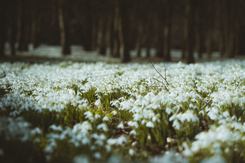 Close-up of white flowering plants on snow land