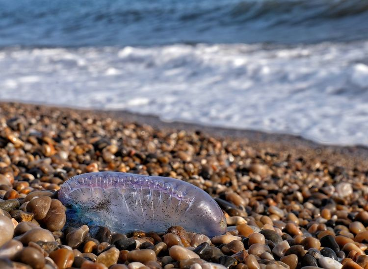 Portuguese man 'o war - Branscombe Beach, Devon Beach Photography Cnidaria Pebble Beach Physalia Physalis Portuguese Man O' War Tentacles Beach Pebbles Beauty In Nature Blue Bottle Close-up Day Decaying Floating Terror Marine No People Outdoors Portuguese Man Of War Sea And Sky Transluscent Venomous Washed Ashore Washed Up Devon