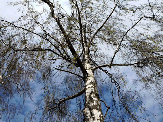 Birch Tree Beauty In Nature Sunny Day In Spring😍 Beauty In Nature Springtime💛 For My Friends 😍😘🎁 Looking Up😍 Unusual Perspective Clear Blue Sky Tranquil Scene Enjoyinglife  Simple Beauty My Favorite Trees