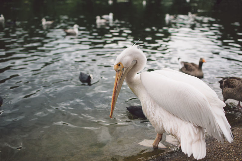Side view of pelican at lakeshore