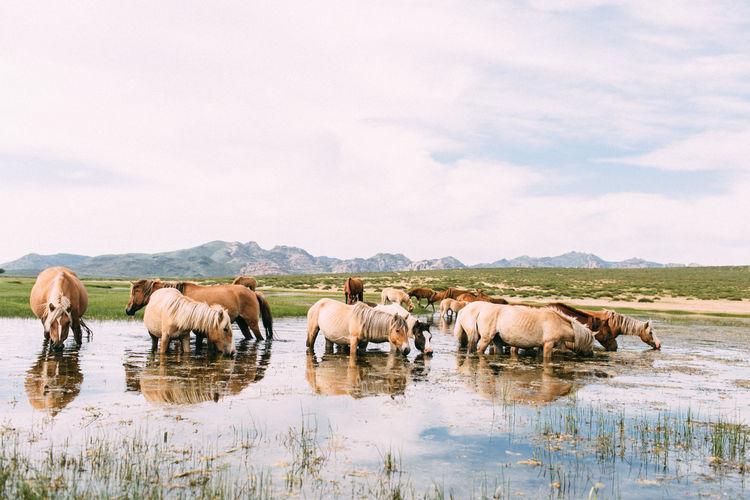 Horses drinking water in lake against sky