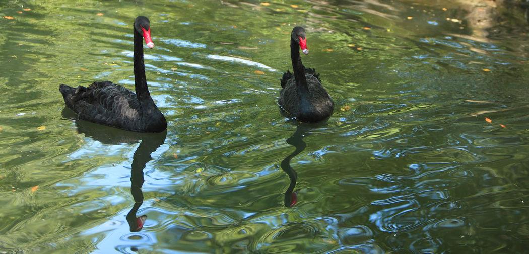 Two black swans (Cygnus atratus) in a lake. Water Lake Animal Themes Vertebrate Swimming Animal Wildlife Bird Animals In The Wild Animal Group Of Animals No People Nature Swan Black Swan Two Animals Animal Family Pond Park - Man Made Space Cygnus Atratus