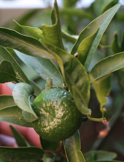 Beauty In Nature Close-up Day Food Food And Drink Freshness Grasshopper Green Color Green Mandarin Growth Leaf Mandarin Nature Outdoors