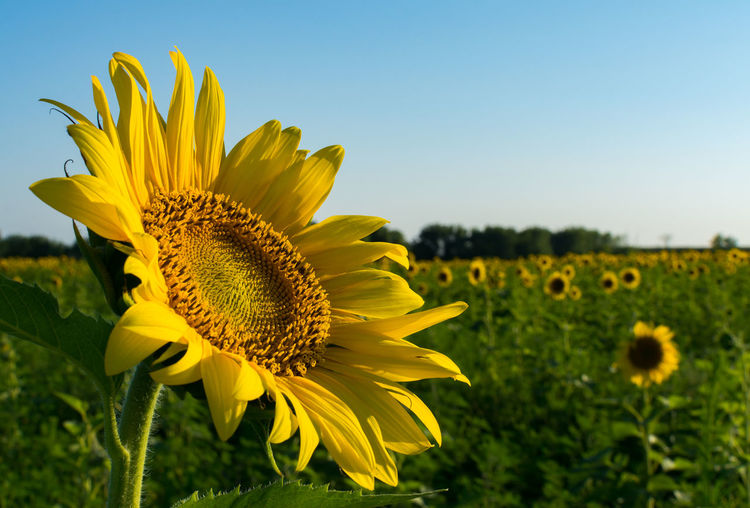 Close-up of sunflower blooming on field
