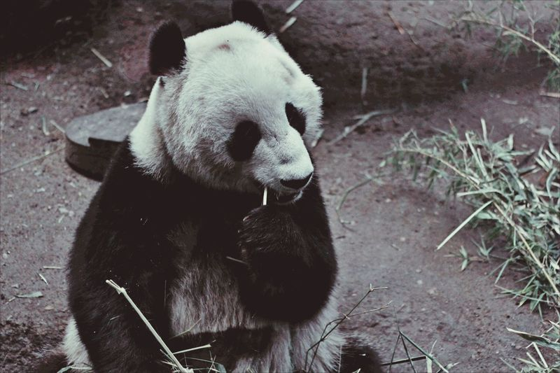 High angle view of panda sitting outdoors