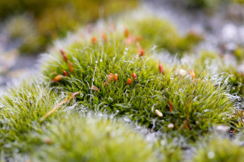 Plant Green Color Growth Selective Focus Beauty In Nature Close-up No People Nature Moss Outdoors Grass Freshness Green Flower Beginnings Vulnerability  Dew Dew Drops