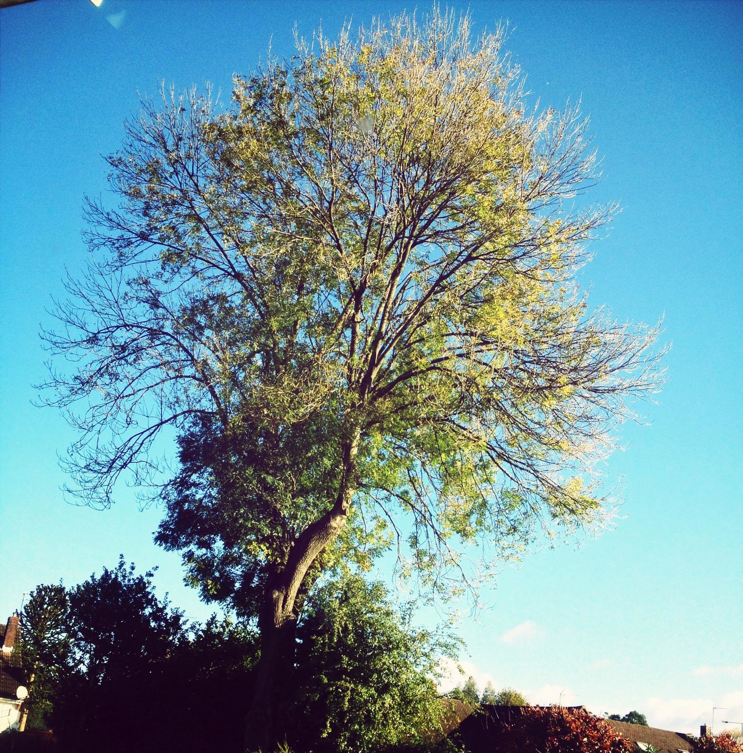 tree, low angle view, blue, clear sky, branch, growth, nature, beauty in nature, tranquility, sunlight, sky, day, no people, outdoors, scenics, high section, tranquil scene, treetop, built structure, tree trunk