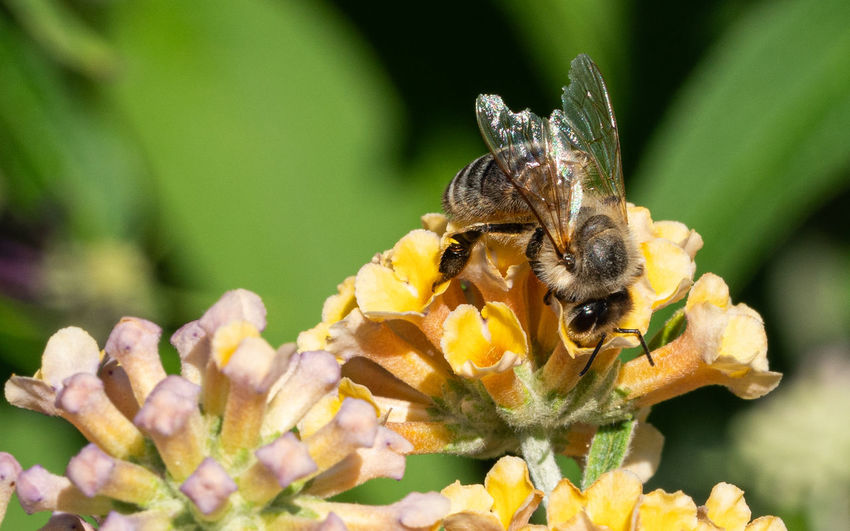 European Honey Bee Apis Mellifera Bee Honey Bee Apis Hive Bee Insect Animal Fauna Nature Species Wild Animal Wildlife Animal In The Wild Animal Kingdom Biosphere Biotope Close-up Habitat Outdoors Buddleja Buddleja Weyeriana Summer Lilac Butterfly Bush Plant Garden Botanic Flora Blossom Bloom Blooming Blooming Garden Blossoming  Bush Flower Flower Bed Flower Head Natural
