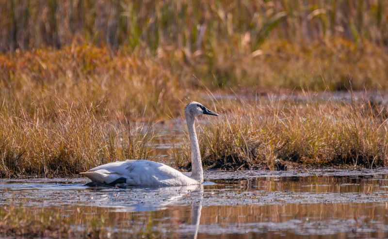 Canadian Wildlife Pond The Week on EyeEm Wildlife & Nature Animal Animal Themes Animal Wildlife Animals In The Wild Beauty In Nature Bird Day Grass Grassy Lake Nature No People One Animal Plant Pond Life Side View Swan Trumpeter Swan Water Water Fowl White Color