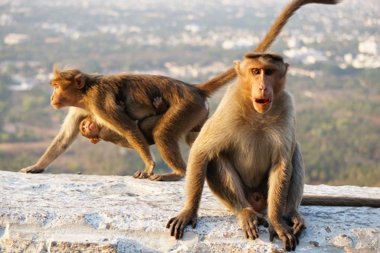 Animal Themes Animal Wildlife Animals In The Wild Day Focus On Foreground Full Length Macaque Macaque Monkey Mammal Mother And Child Nature No People Outdoors