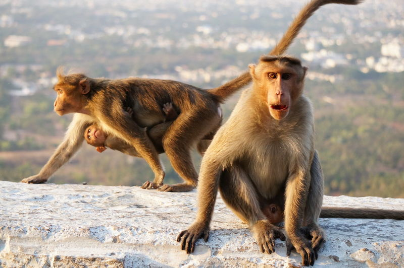 Animal Themes Animal Wildlife Animals In The Wild Day Focus On Foreground Full Length Macaque Macaque Monkey Mammal Mother And Child Nature No People Outdoors A New Perspective On Life