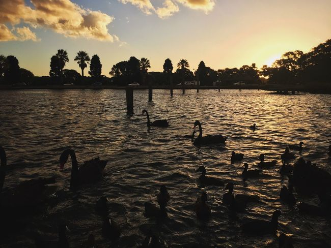 Centennial Park, Sydney | IG: @sayinghello Animals In The Wild Beauty In Nature Bird Centennial Park  Cloud - Sky Cloudporn Lake Nature Outdoors Reflection Silhouette Sky Sunset Swimming Sydney Tranquil Scene Tranquility VSCO Water The Great Outdoors - 2017 EyeEm Awards