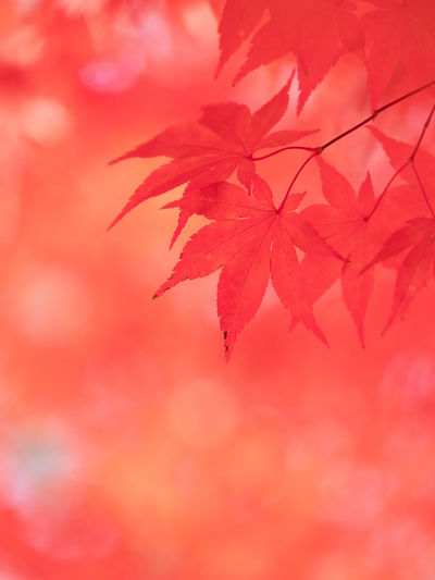Red Plant Plant Part Leaf Autumn Close-up No People Beauty In Nature Change Nature Selective Focus Maple Leaf Orange Color Maple Tree Backgrounds Pink Color Growth Tree Day Outdoors Leaves Natural Condition