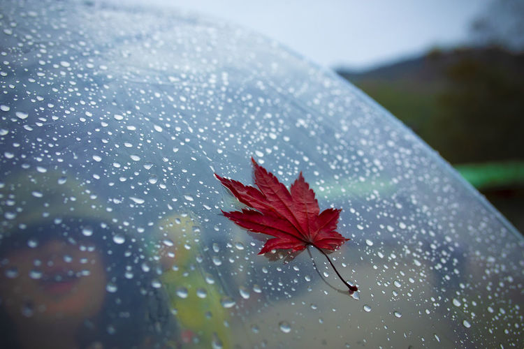 Red maple leave on transparent umbrella with rain drop background