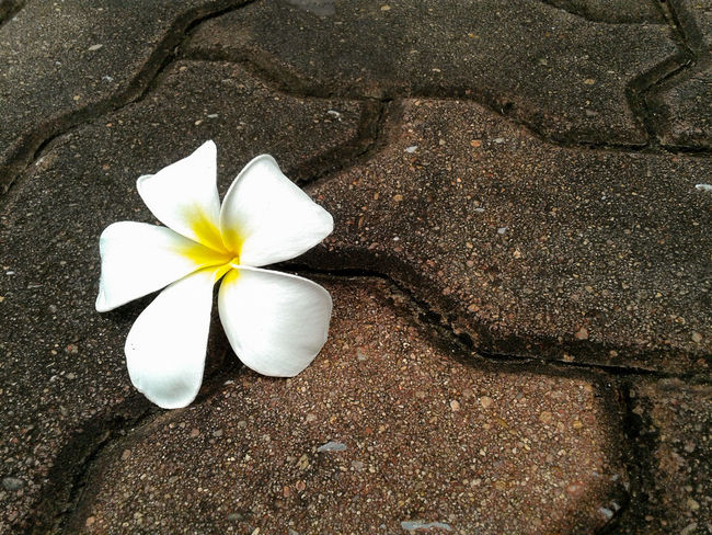 Plumeria flower fall down on the rock floor, plumeria flower pure white. Flower Flower Head Frangipani Nature Petal Fragility Beauty In Nature Close-up Day Textured  No People Freshness Outdoors Pure White Pure White Flower White Flowers Flower Collection White Flower Fall Down Frangipani Frangipani Flower Plumeria Plumeria Flowers