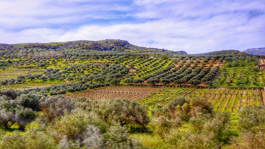 The Journey Is The Destination Landscapes Driving By Fields Fields And Sky Grapevine Canyon Grapes Olive Trees In A Line Structures Structures & Lines Green Color Blue Sky Sunny Afternoon Eyem Gallery Traveling Travel Driving In My Car Selective Focus Greece Athens Showcase July