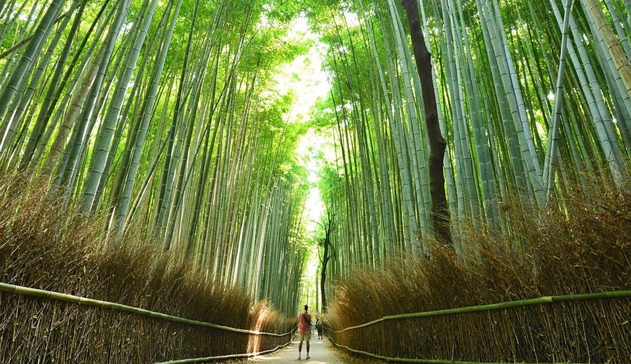 Kyoto Green Spiritual Place Kyoto Eyeeem Gallery Eyeemphotography Morning Light Japan Photography Plant Tree Forest Bamboo - Plant Green Color Growth Land Nature Bamboo Grove Bamboo Beauty In Nature Outdoors Tranquil Scene Sunlight The Traveler - 2018 EyeEm Awards The Traveler - 2018 EyeEm Awards The Traveler - 2018 EyeEm Awards