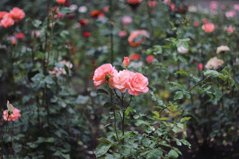 Plant Flowering Plant Flower Freshness Growth Vulnerability  Fragility Beauty In Nature Petal Close-up Pink Color Focus On Foreground Inflorescence No People Day Rose - Flower Flower Head Nature Outdoors Rosé The Still Life Photographer - 2018 EyeEm Awards