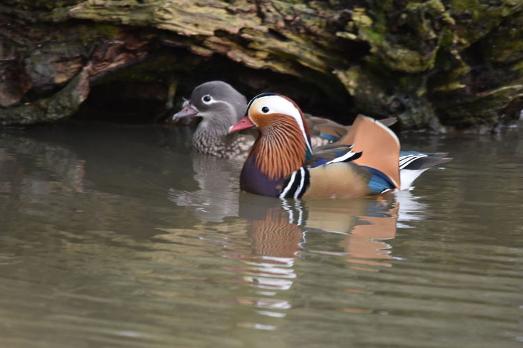Two Is Better Than One Animal Animal Themes Animal Wildlife Animals In The Wild Bird Day Ducks Mandarin Duck Mandrin Duck Mandrin Ducks Nature No People Vertebrate