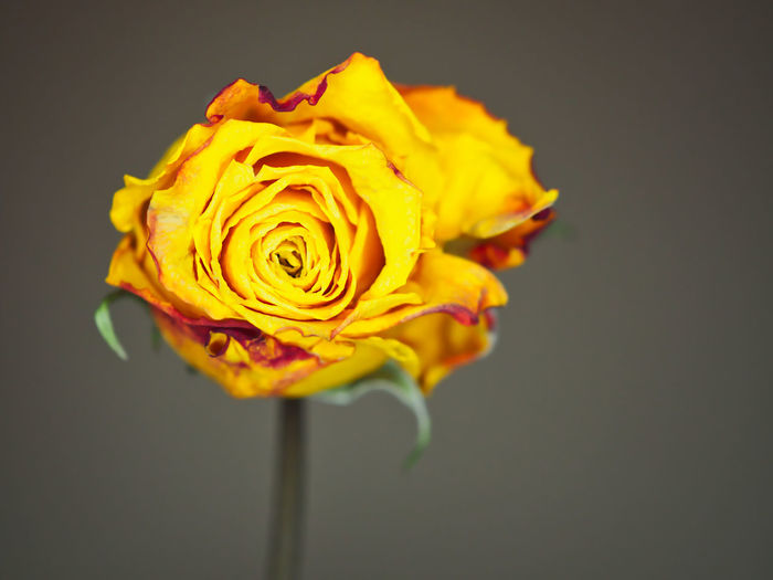 Close-up of yellow rose against black background
