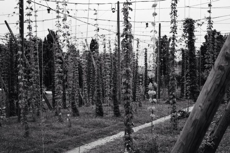 Cable Power Line  Power Supply Tree Nature Growth Outdoors Day No People Bean Beans Peas Black And White Fragility Freshness Beauty In Nature in Metz, France The Great Outdoors - 2018 EyeEm Awards