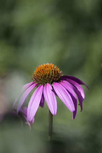 Flowering Plant Flower Fragility Vulnerability  Beauty In Nature Petal Plant Freshness Growth Coneflower Close-up Flower Head Inflorescence Pollen Focus On Foreground No People Pink Color Purple Day Outdoors Sepal