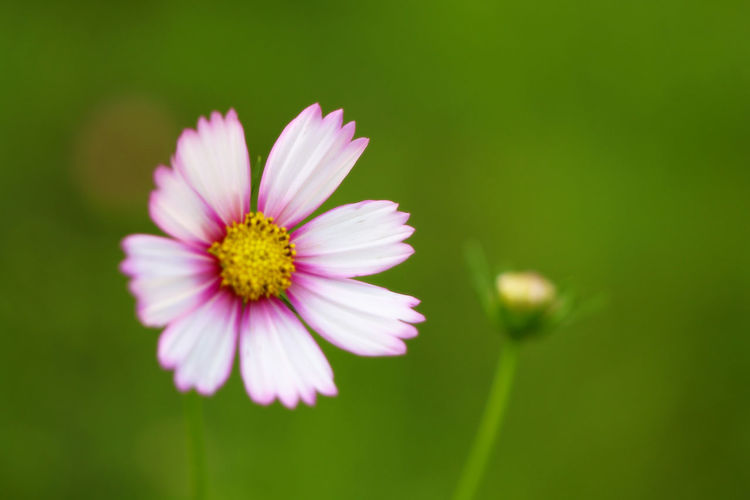 Beauty In Nature Blooming Blossom Botany Close-up Daisy Day Flower Flower Head Focus On Foreground Fragility Freshness Growth In Bloom Nature Outdoors Petal Pink Color Plant Season  Selective Focus Single Flower Softness Springtime Stem