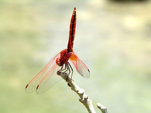 Beautiful Dragonfly Animal Photography East Sumba Sumba Timur Alone Eye4photography  EyeEm Gallery Hello World Animal Summer EyeEm
