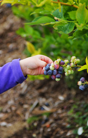 Cropped Image Of Hand Plucking Blueberries At Farm
