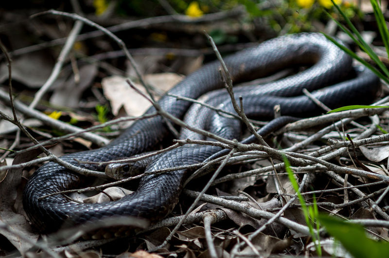 Animal Themes Animal Wildlife Animals In The Wild Close-up Day Dugite Nature No People One Animal Outdoors Reptile Snake Snapshots Of Life Venomous Snake