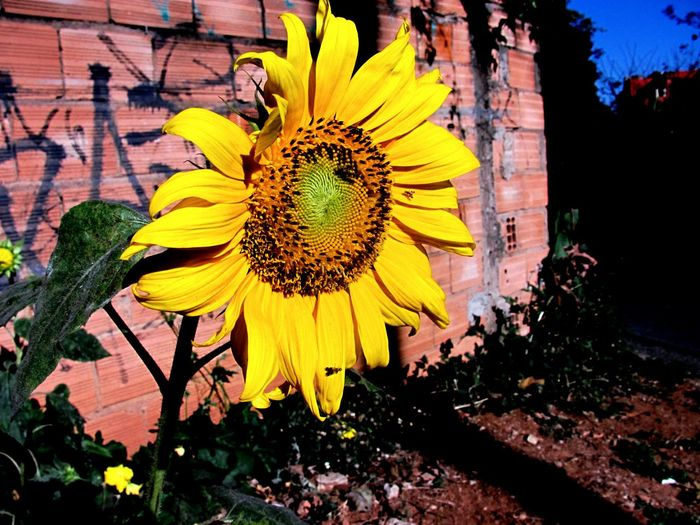 Flower Yellow Plant Nature Girassol