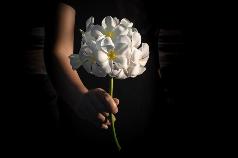 plumeria Back Dark Nature Sent  Gift White Flower Plumeria Flower Flowering Plant Plant Freshness Fragility Vulnerability  Human Hand