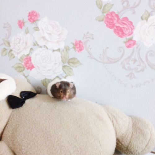 Hamster Hamster Love Hamster Life Hamster ♡ Teddy Bear Ted