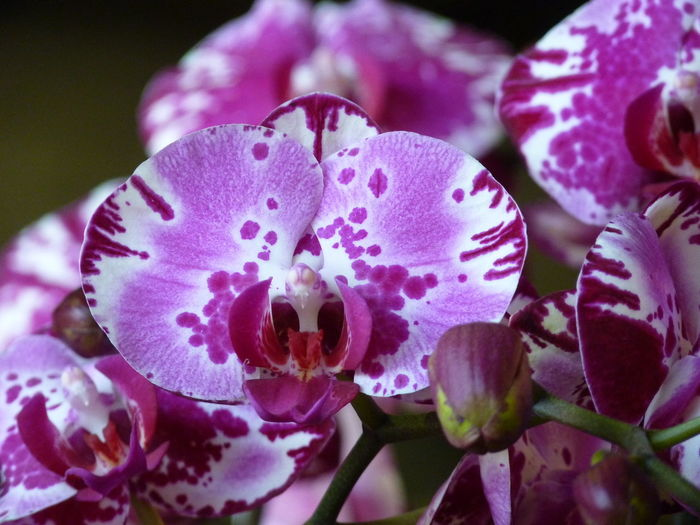 Orchid Freshness Flower Flowering Plant Close-up Plant Beauty In Nature Vulnerability  Petal Growth Fragility Inflorescence Pink Color Flower Head No People Nature Selective Focus Pollen Purple Day Focus On Foreground Aleq Orchid Orchids Orchid Blossoms Orchid Flower