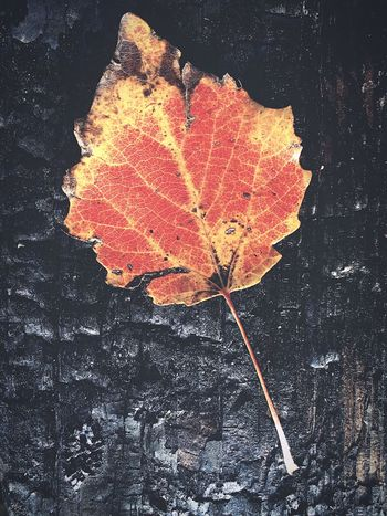 Leaf Autumn Change Dry Maple Nature Outdoors Maple Leaf Day No People Beauty In Nature Close-up Fragility Red Yellow Burnt Burnt Wood Scorched Singed Fire
