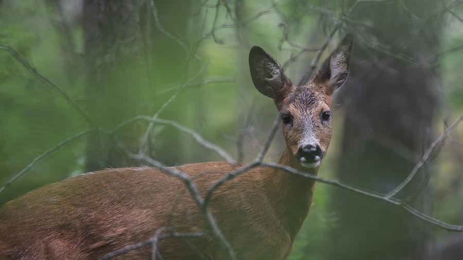 Roe deer in