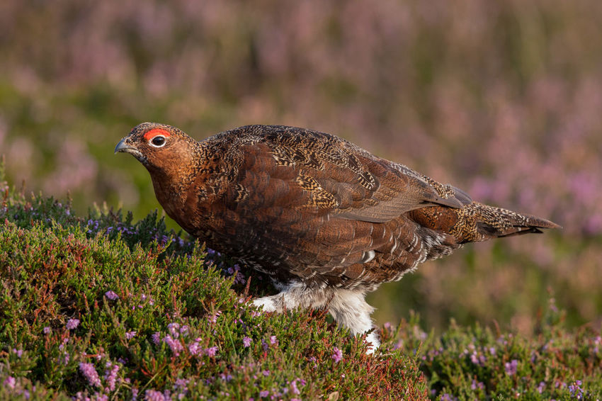 Red Grouse in autumn Red Grouse Lagopus Lagopus Scoticus Schottisches Moorschneehuhn Animal Themes Animal Wildlife Animals In The Wild Bird Day Glorious Twelfth Of July Hathersage Nature No People North Yorkshire Moors One Animal Outdoors
