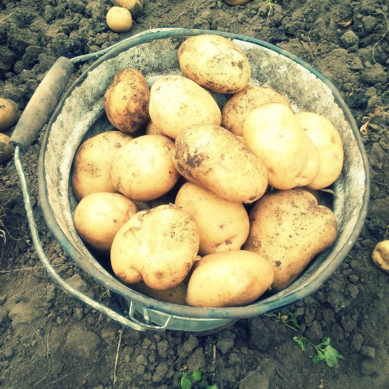 food and drink, high angle view, healthy eating, food, vegetable, root vegetable, raw potato, no people, bowl, abundance, large group of objects, freshness, day, outdoors, close-up, nature