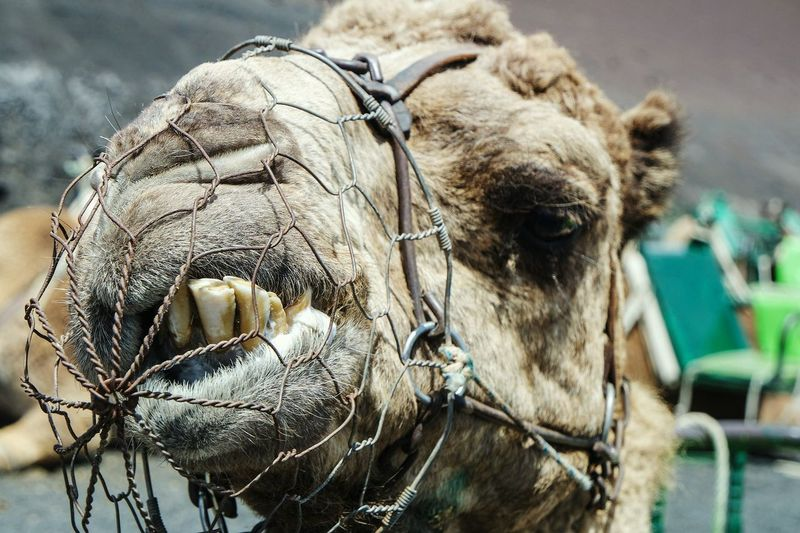 Close-Up Of Camel Head With Muzzle
