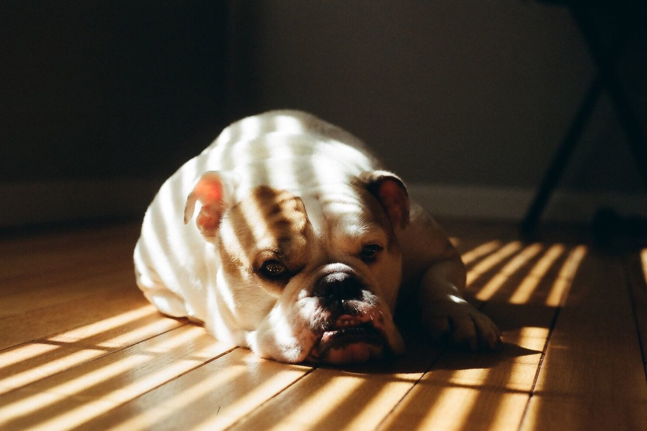 Portrait of bulldog resting on floor