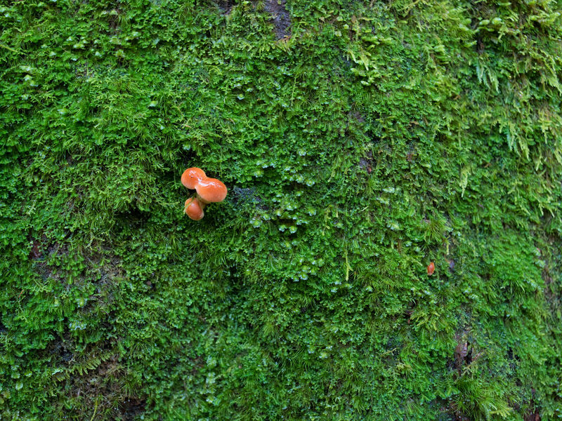 Small golden mushroom sprouting out of green moss on tree trunk in rain. Autumn Golden Life Shoot Beauty In Nature Close-up Freshness Fungus Grass Green Color Growth Moss Mushroom Nature Plant Season  Small Sprout Tree