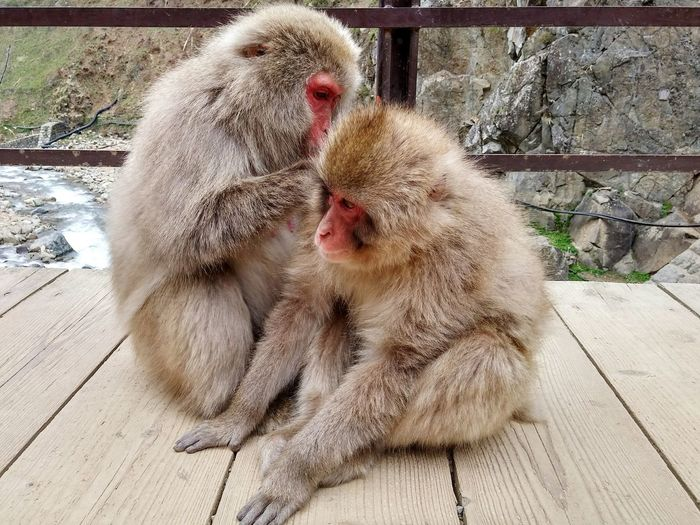 Japanese macaques on boardwalk