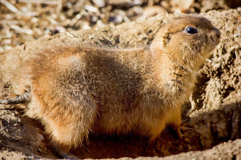 Prairie Dog Prarie Dog Animal Themes Animal Wildlife Close-up Day Nature One Animal Outdoors Small Animal